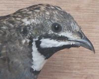 chinese_painted_quail