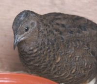 chinese_painted_quail_female