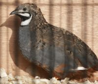 chinese_painted_quail_male